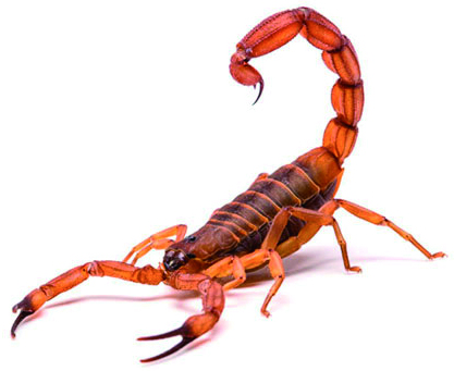 Escorpiões podem passar de um simples incômodo a um risco letal